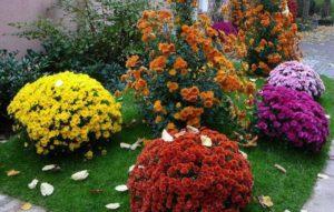 Хризантема – уход осенью и подготовка к зиме