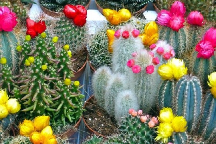 Размножение кактусов в домашних условиях советы