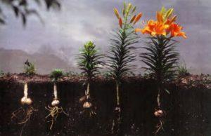 Как сажать лилии весной в открытый грунт и правильно ухаживать