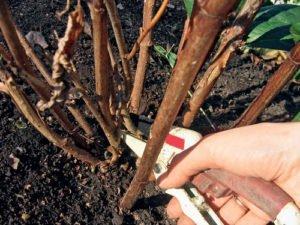 Обрезка гортензии весной