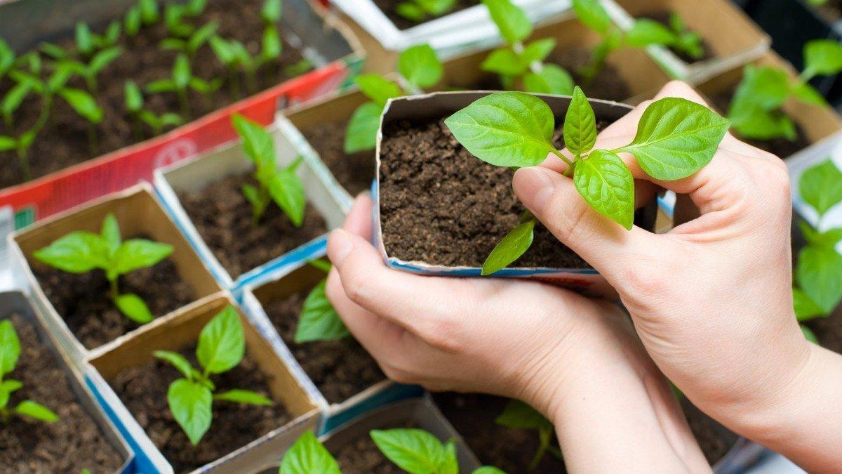 Подкормка рассады томатов и перца золой Вырасти сад! 43