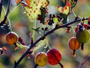 Обрезка крыжовника осенью и его подготовка к зиме