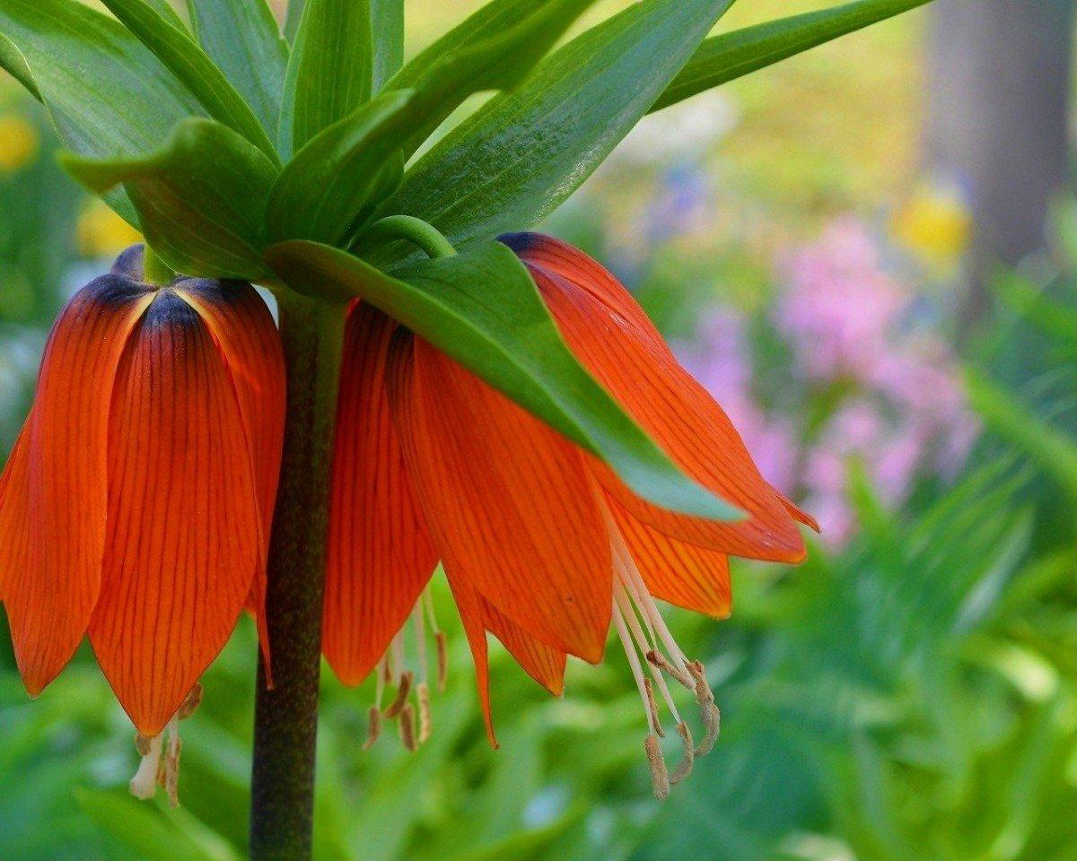 Рябчик императорский - фото цветок