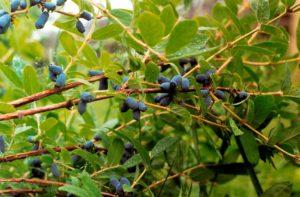 Уход за жимолостью осенью и подготовка к зиме: удобрение, обрезка и укрытие
