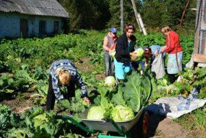 Когда и как собирать урожай капусты