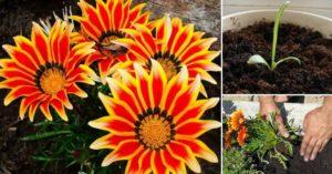 Посадка гацании на рассаду: выращивание и уход