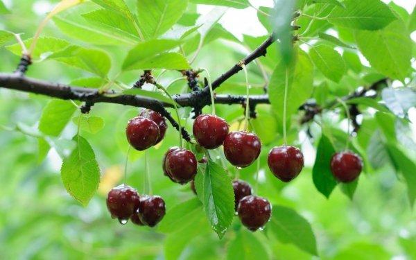 Обрезка деревьев весной видео для начинающих вишни