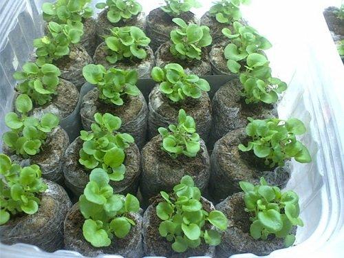 Как посадить петунии в торфяные таблетки