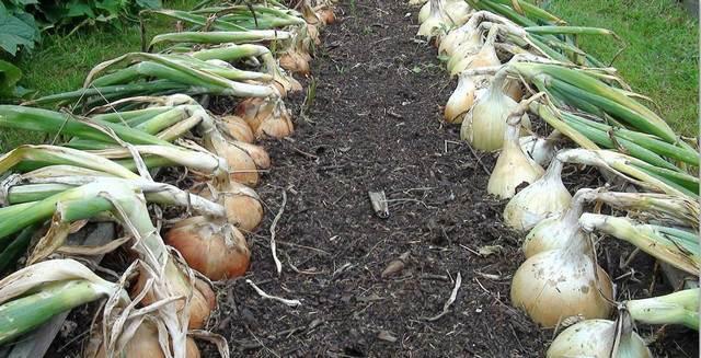 Выращивание лука из семян за один сезон в домашних условиях