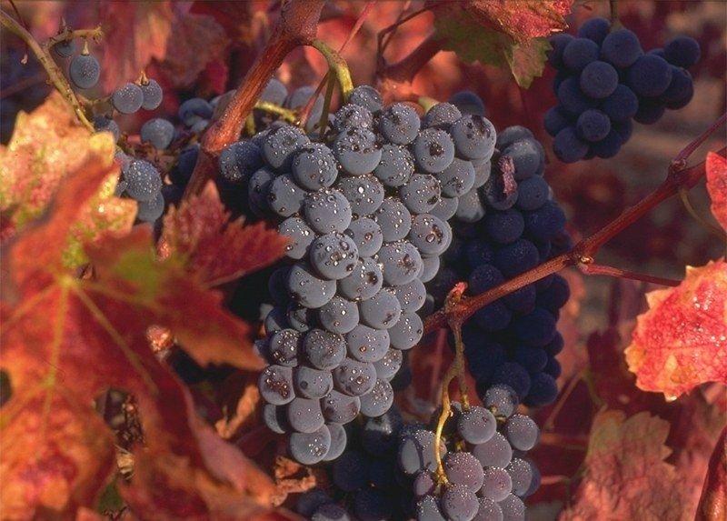 Укрытие винограда на зиму на Урале
