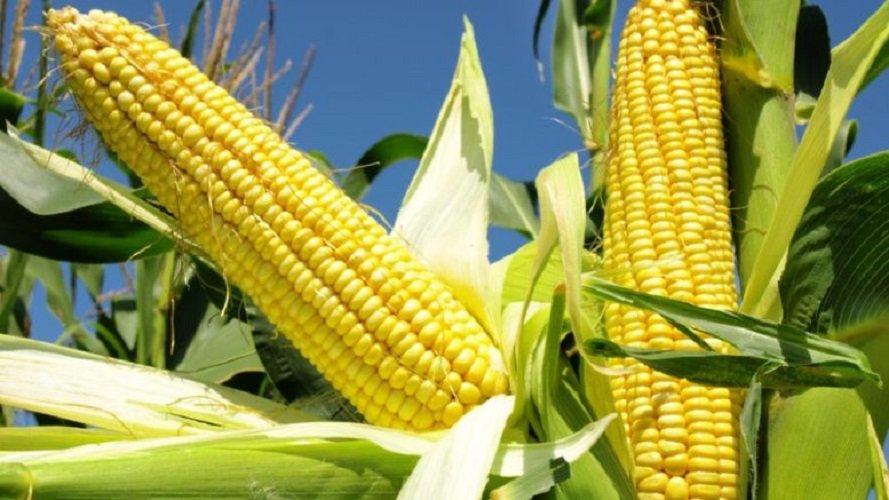 Кукуруза посадка и уход в открытом грунте