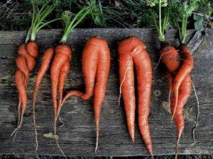 Почему морковь корявая, рогатая, волосистая и трескается