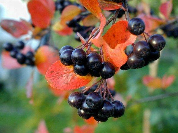 Рябина черноплодная посадка и уход