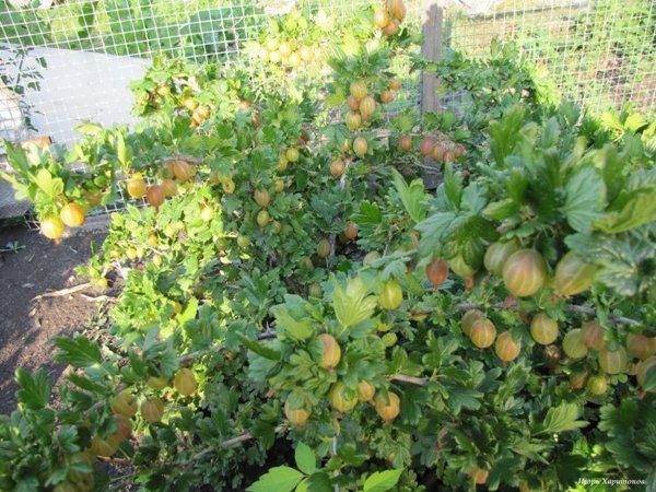Размножения крыжовника весной, летом и осенью