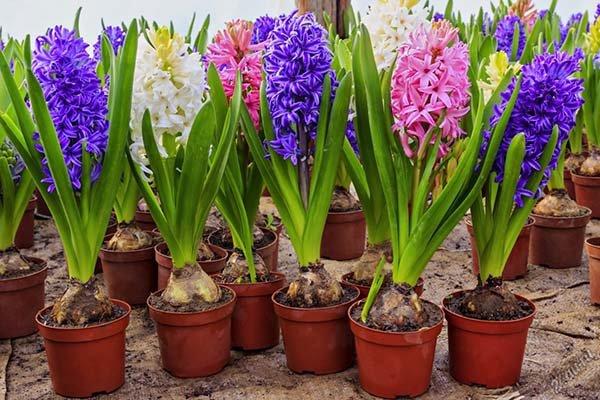 Луковичные многолетники для сада: каталог цветов