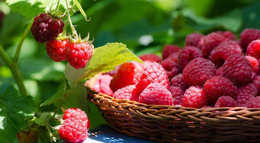 Чем подкормить малину летом