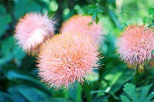 Гемантус: уход за цветком в домашних условиях, всё о посадке и размножении