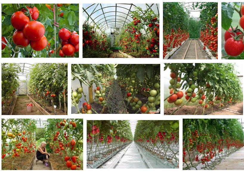 Выращиваем помидоры в теплице. Лучшие тепличные сорта, отзывы, уход