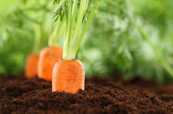 Как правильно прореживать морковь