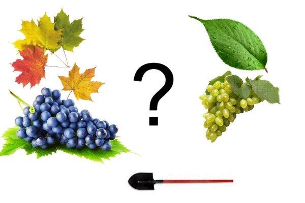 Сажаем виноград весной правильно