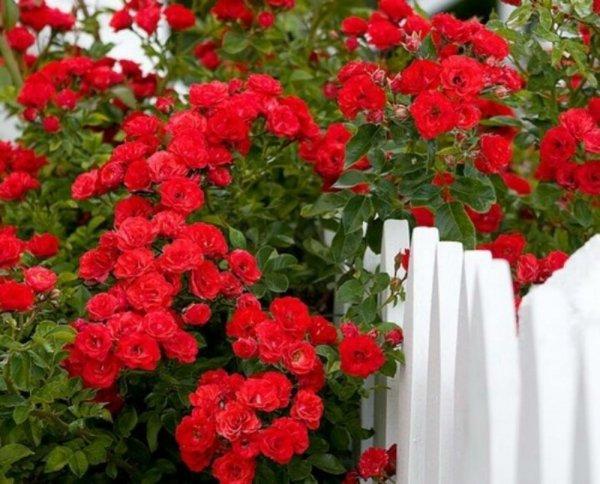 Роза плетистая посадка и уход в открытом грунте фото