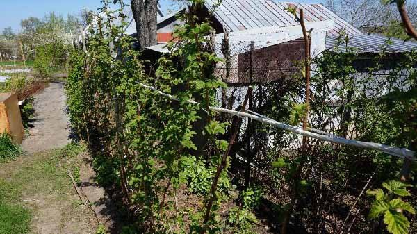 Подвязка малины весной и осенью