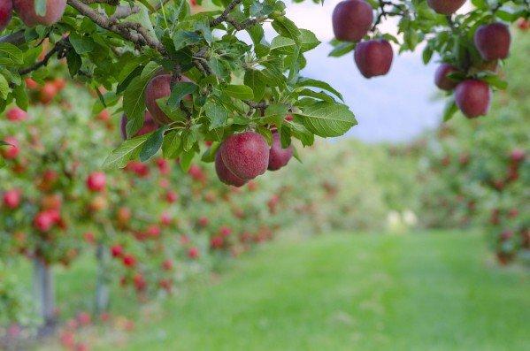 Весенний уход за яблоней