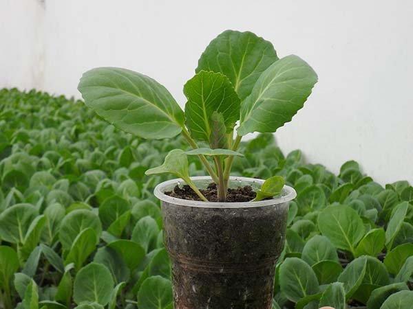 Как и когда сажать капусту на рассаду в 2019 году