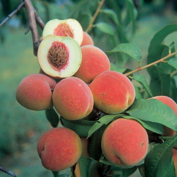Обработка персика весной от болезней и вредителей