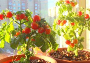 Как вырастить помидоры на окне (подоконнике)