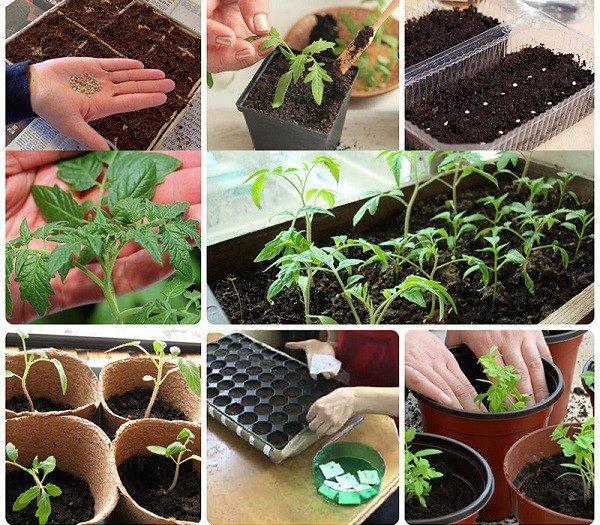 Посадка помидор на рассаду в 2019 году | когда сажать, в теплицу изоражения