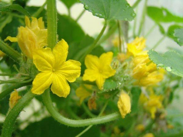 На огурцах нет завязей, хотя цветут или желтеют и опадают - причины и что делать