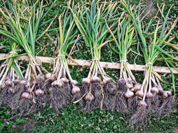 Что посадить на грядку после чеснока и лука летом в июле августе