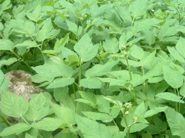 Сныть трава - полезные свойства и противопоказания, борьба со снытью
