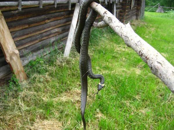 Как избавиться от змей на дачном участке - меры борьбы ипрофилактика
