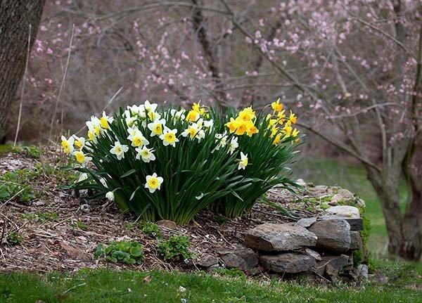Посадка нарциссов осенью и весной в открытый грунт: правила ухода и выращивания