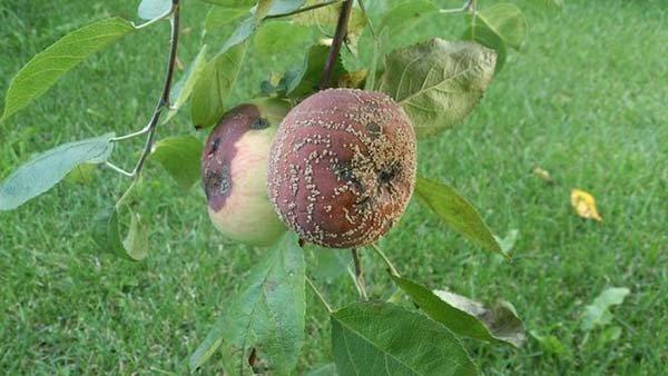 Почему яблоки гниют на дереве – причины и что делать, как спасти урожай?