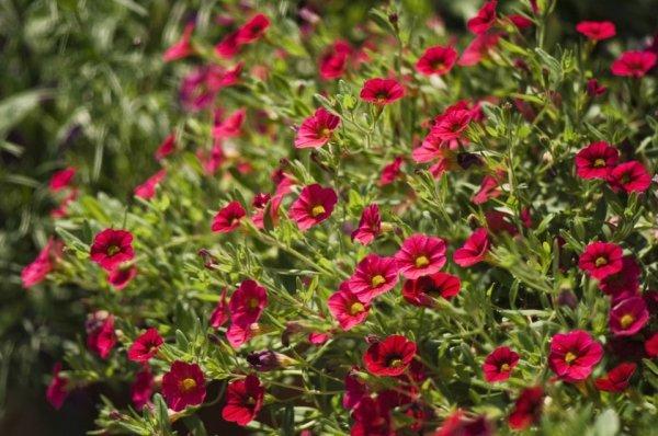 Бакопа ампельная фото выращивание и уход