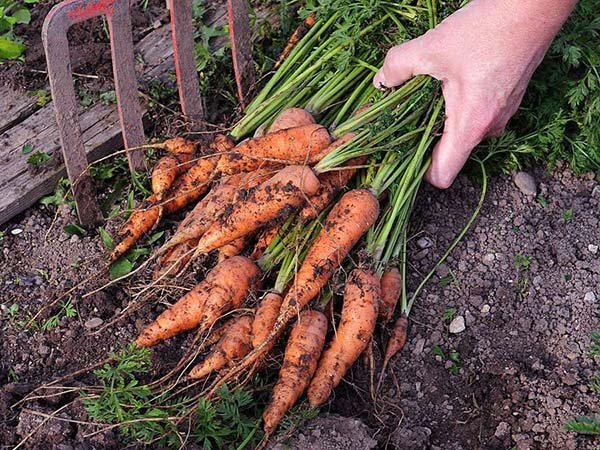 Когда и как выкапывать морковь с грядки – сроки уборки на хранение