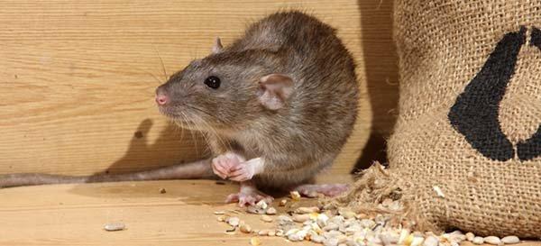 Как избавиться от мышей на даче и в частном доме. Народные средства, отпугиватели и отрава