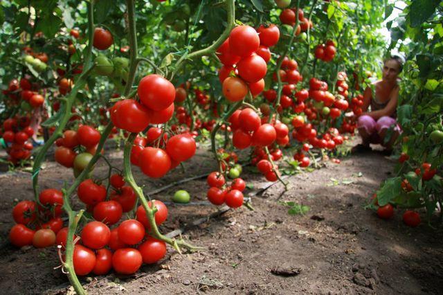 Как вырастить помидоры в теплице - уход от высадки в грунт до сбора урожая