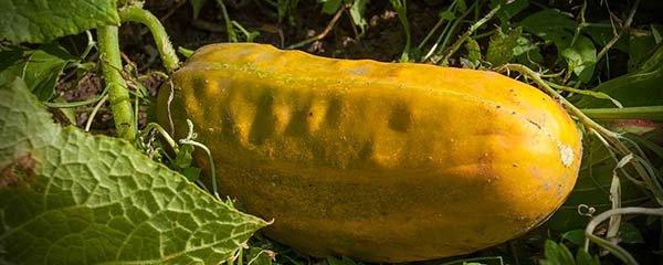 Правила сбора и заготовки семян огурцов – какие оставить для семенного материала