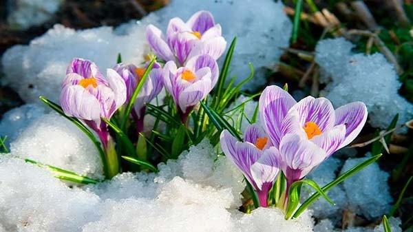 Посадка крокуса весной и осенью в открытый грунт - когда сажать и как ухаживать