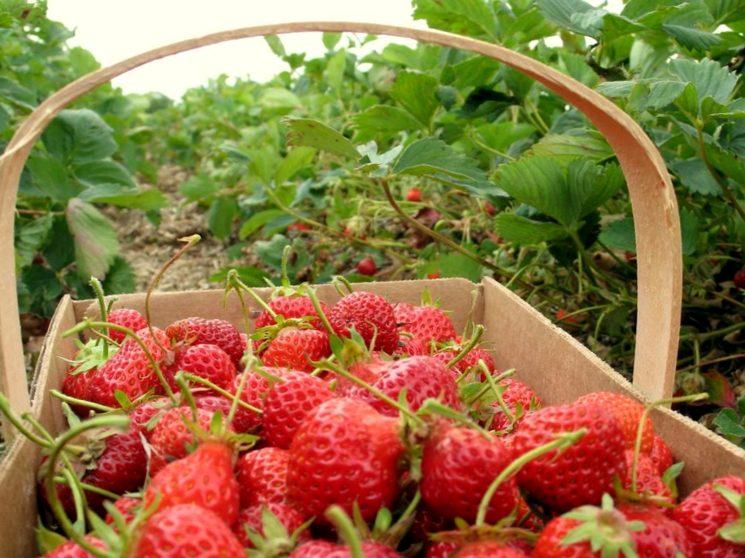 Удобрение для виктории клубники при посадке, во время цветения и после сборки урожая
