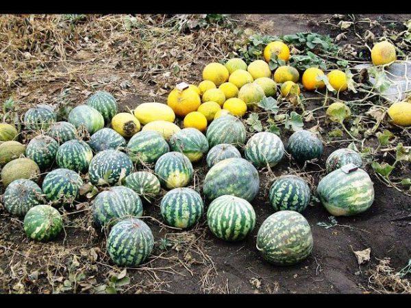 Арбузы и дыни на Урале и в Сибири – выращивание и уход