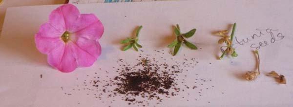 Когда и как собирать семена петунии своими руками в домашних условиях