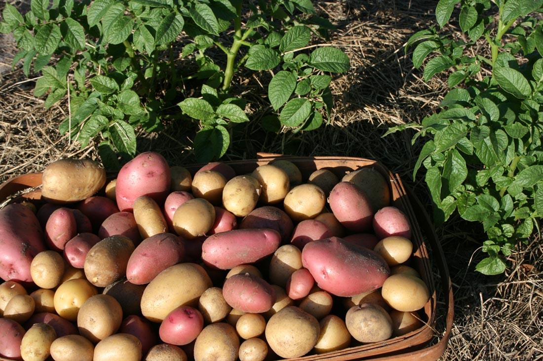 Фитофтора на картофеле как бороться