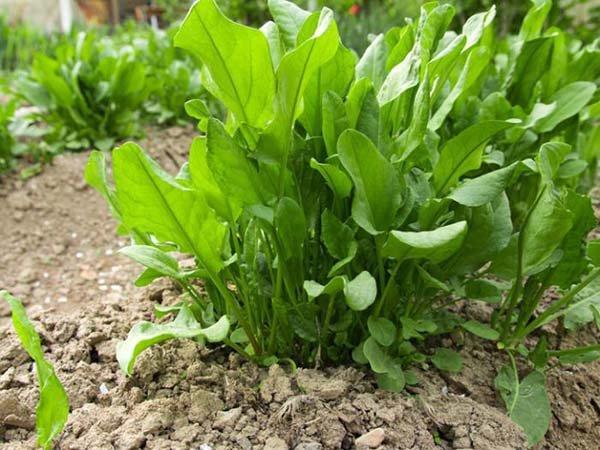 Когда и как сеять щавель весной и осенью под зиму в открытый грунт