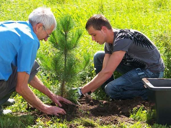 Пересадка сосны весной и осенью из леса на участок – уход и выращивание