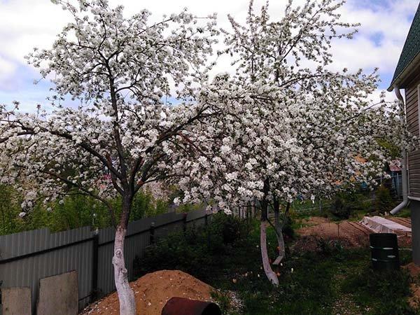 Почему яблоня не цветет и не плодоносит - причины и что делать